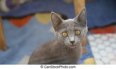 Gray british cat with bright yellow eyes looking at the...
