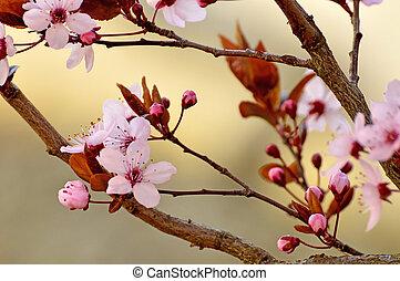 japonés, Cereza, flor,