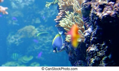 reef fish swim peacefully among the corals in the background...