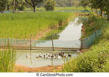 Duck finishing in paddy fields