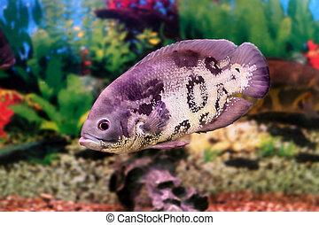 beautiful aquarium fish Astronotusa - image of a beautiful...