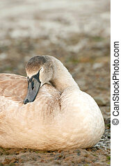 sleeping signet - sleeping swan signet on a stoney riverbank