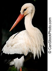 stork - portrait of a white stork in africa