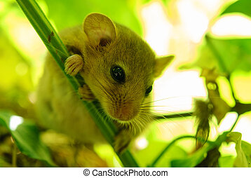 Muscardinus avellanarius - hazel dormouse near its nest....