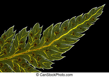 Broad buckler fern Dryopteris dilatata leaf tip with...