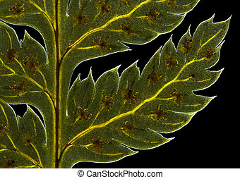 Broad buckler fern (Dryopteris dilatata) frond detail with...