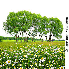 Field of marguerites with trees . Spring landscape.