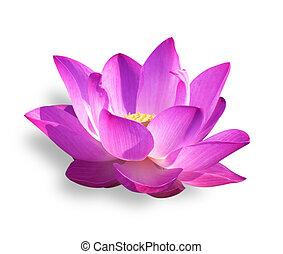 lotus - Lotus isolated on white background