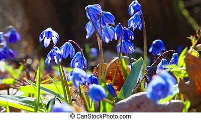 snowdrops are trembling on the wind - Group of snowdrops are...