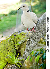 pigeon and iguana - a pigeon and an iguana on a branch...