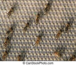 Bees ventilate - Flapping of wings of bees cool the nest