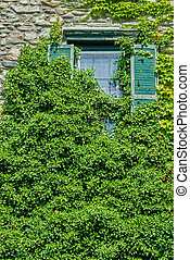 Overgrown Ivy - Overgrown Green Ivy Covering Old Delapidated...