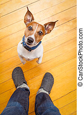 dog begging - jack russell dog ready for a walk with owner...