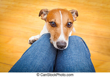 dog begging on lap - jack russell dog ready for a walk with...