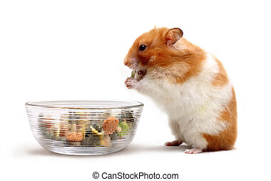 Hamster - An adult female Syrian hamster eating some food...
