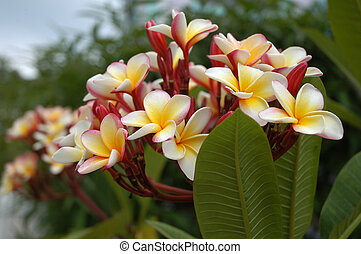 Small nice tropical flowers - frangipanni