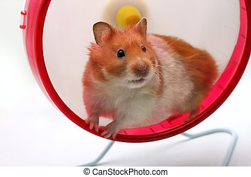 Hamster - A Syrian hamster in a wheel staring out
