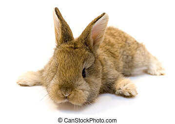 Estern rabbit - Small grey estern rabbit on white background