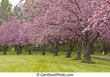 Spring blooms pink row trees in a park.