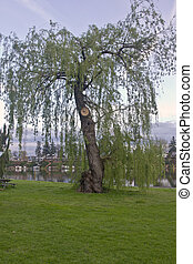 Weeping willow tree in a park.