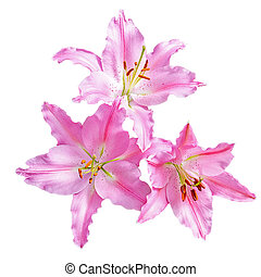 Pink lilly flower - Pink lilly flower on white background