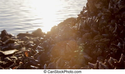 Mussels on Rocks Background - Group of Mussels on seashore...