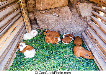 Guinea Pigs in Peru - Guinea pigs in a pen in the Colca...