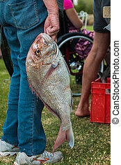 Snapper Pagrus auratus fish getting carried around
