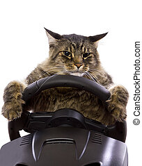 Driving Cat - brown maine coon cat driving a steering wheel