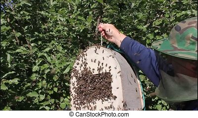 Swarming bees Formation of a new hive - Bees that can fly at...