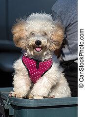Beautiful pure breed bichon frise dog, close up