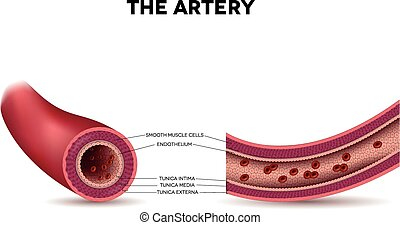 Healthy artery anatomy, artery layers detailed illustration...