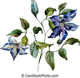 Clematis flower - Beautiful vector image with nice clematis...