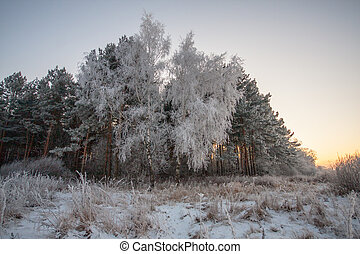 Hoar frost on birch and pine trees A winter forest on sunset...