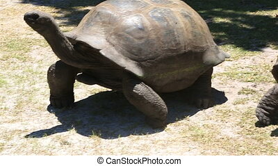 Aldabra giant tortoise goes to the tourist. Island Curieuse...