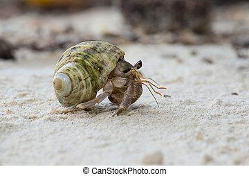 hermit, carangueijo, em, a, concha, de, Um, caracol,