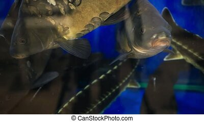 Fresh live fish at the aquarium at seafood restaurant. HD....