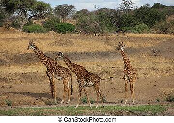 tansania, savanne, Giraffen