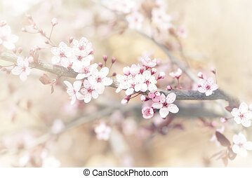 Cherry tree flower in spring - Vintage photo of pink cherry...
