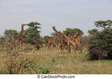 tansania, Giraffen