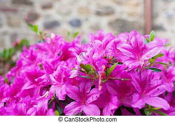 grande, Bush, de, um, violeta, azaléia, em, a, jarda, perto,...