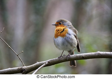 robin redbreast - bird on branch photographed in natural...