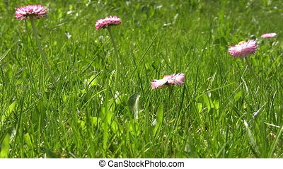 Pink spring flowers in the grass