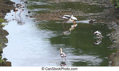Painted Stork birds hunting in lake - Sri Lanka - Painted...