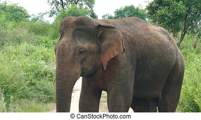 wild indian elephant closeup