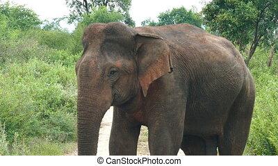 wild indian elephant closeup