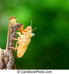Cicada shedding its shell