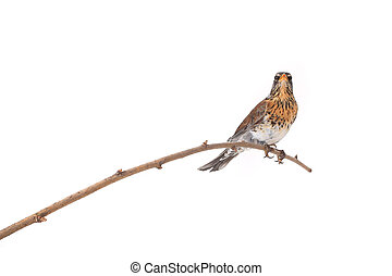 thrush Turdus pilaris, isolated on white