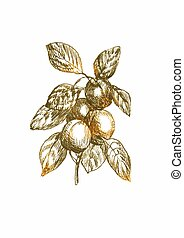 apricot - an hand drawn vector illustration in vintage style...
