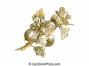 gooseberry - an hand drawn vector illustration, line art:...